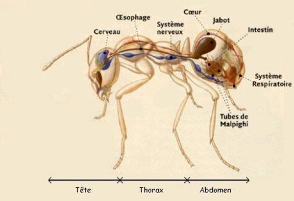 L'anatomie interne de la fourmi