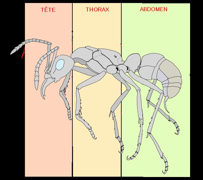 Les fourmis i anatomie des fourmis - Dessin d une fourmi ...